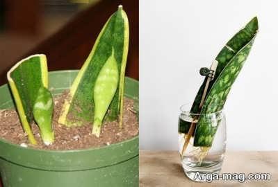مراقبت از گیاه تزئینی سانسوریا
