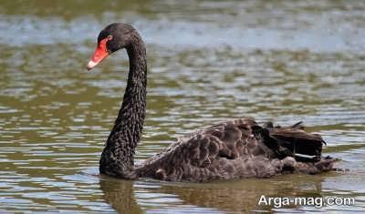 آشنایی با پرنده قو گردن سیاه