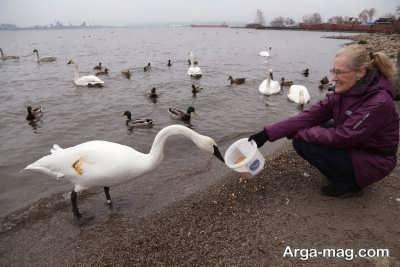 آشنایی با پرنده قو
