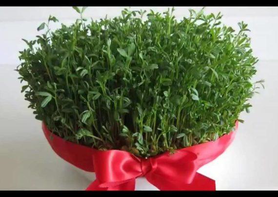 آشنایی با نحوه کاشت سبزه نخود برای سفره هفت سین