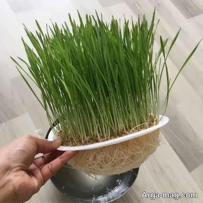 چگونگی کاشت دانه های گندم برای سبزه عید