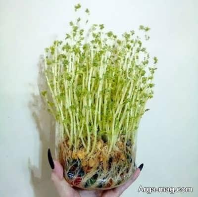 چگونگی کاشت سبز نخود برای سفره هفت سین