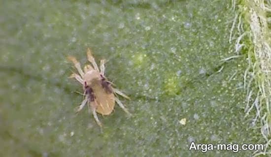 خاک گلدان ها می تواند از عوال مهم در بوجود آمدن این حشرات باشند