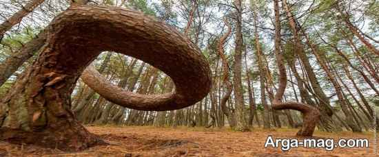 جنگل های کالینینگراد