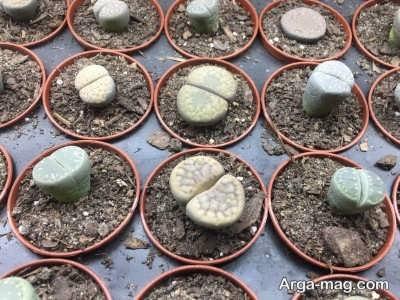 تعویض گلدان گیاه لیتوپس