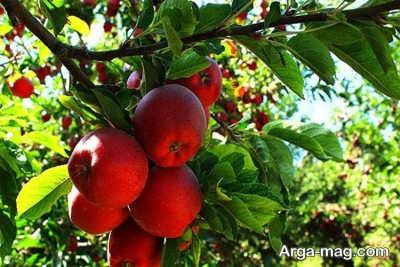 اشنایی با سیب های منحصر به فرد میانه