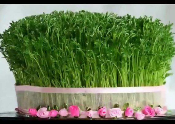 کاشت سبزه شاهی برای عید نوروز