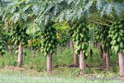 کشت و پرورش درخت پاپایا