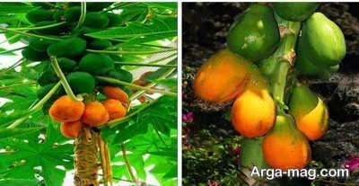 کشت و زرع درخت پاپایا