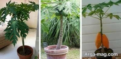 کشت درخت پاپایا در گلدان