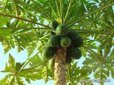 زراعت و کشت درخت پاپایا