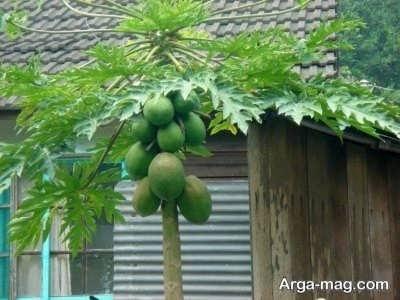 طریقه کشت و زرع درخت پاپایا