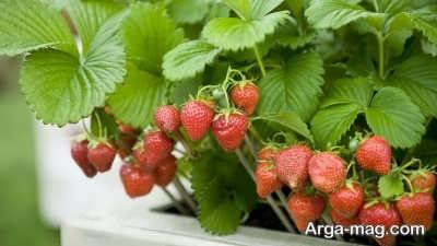 نکات لازم در مورد کاشت توت فرنگی