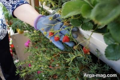 روش های کاشت توت فرنگی