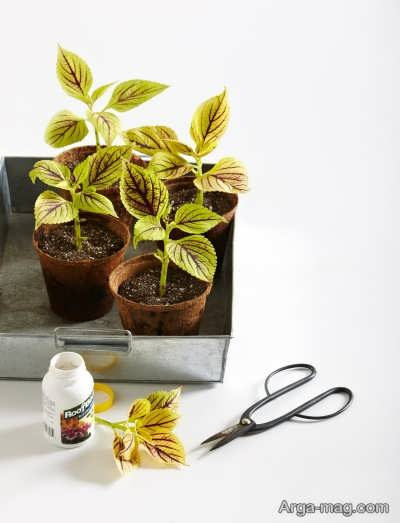 روش های مختلف تکثیر گیاه فیتونیا