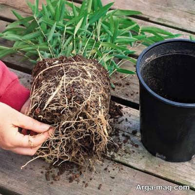 تعویض گلدان گیاه برای رشد بهتر گیاه