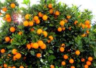 کاشت درخت پرتقال و نگهداری از آن