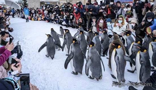 پنگوئن های دوست داشتنی در باغ وحش «آساهیاما»/عکس