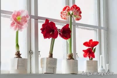 شناخت نیازهای گل محبوب آماریلیس