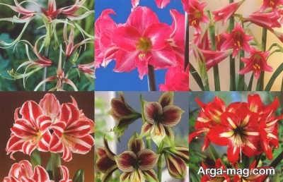 کاشت گل آماریلیس در آب و هوای مدیترانه ای