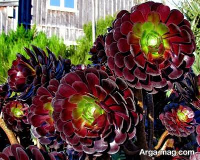 کشت و پرورش گل آئونیوم