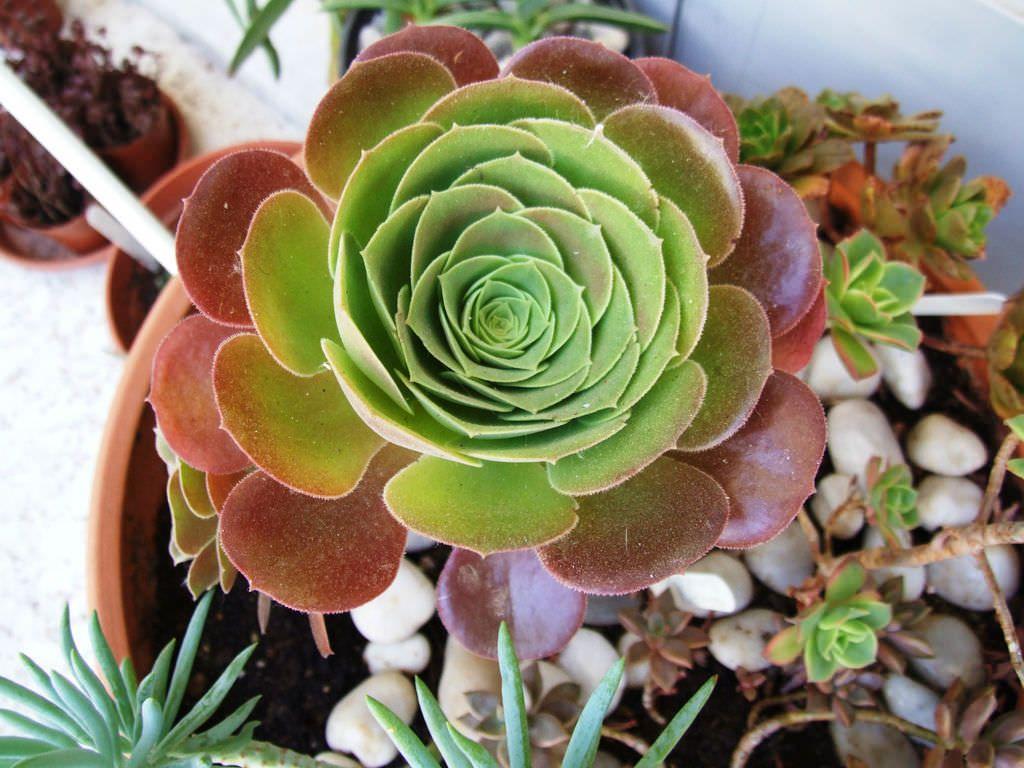 پرورش گل آئونیوم