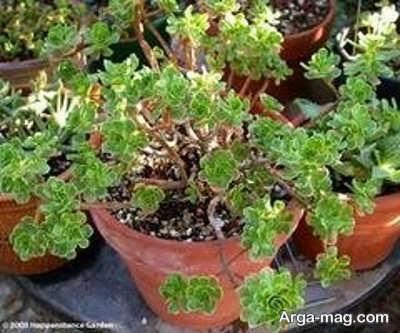 گل آئونیوم ساکولنت جذابی است