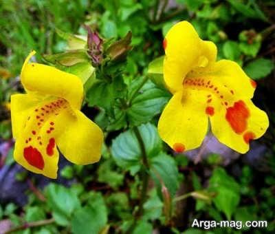 روش های مختلف کاشت و پرورش گل میمون