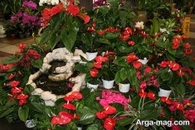 زیبایی های گل فلامینگو