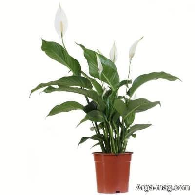 دستورالعمل کاشت گل اسپاتی فیلوم