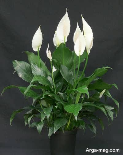 چگونگی نگهداری گل اسپاتی فیلوم