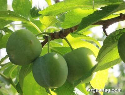 گوجه سبز بومی مناطق اروپایی است