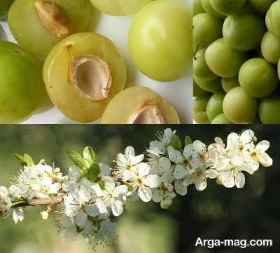 روشهای ازدیاد گوجه سبز
