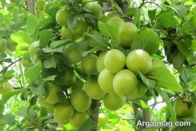 شرایط لازم برای رشد نهال گوجه سبز