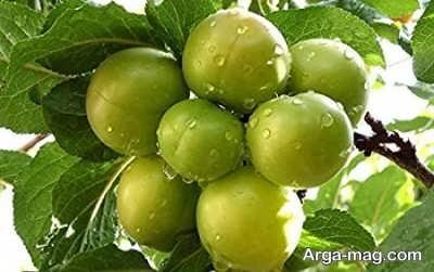 تکثیر گوجه سبز