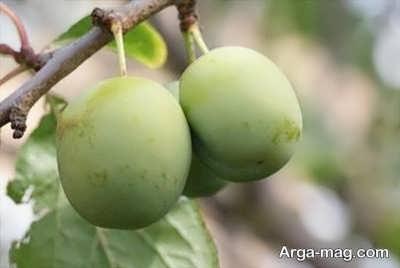 نحوه زراعت و پرورش گوجه سبز