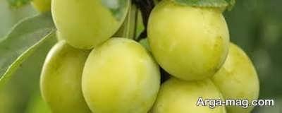 کاشت گوجه سبز در ایران