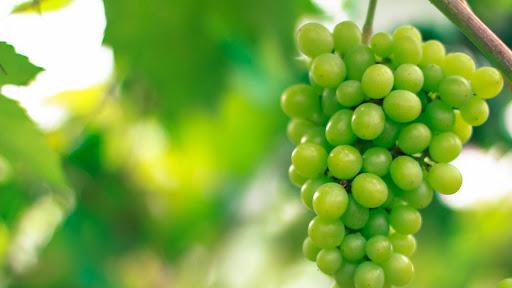 نکات مهم در مورد کاشت درخت انگور