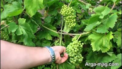 زمان مناسب برای برداشت انگور