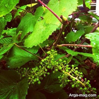 روش های کاشت درخت انگور در خانه