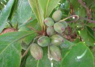 راه های مختلف کاشت درخت بادام هندی