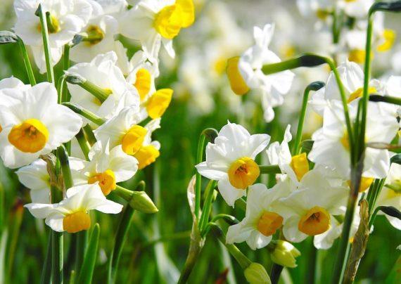 آشنایی با نحوه تکثیر گل نرگس