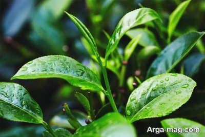 ویژگی های روغن درخت چای