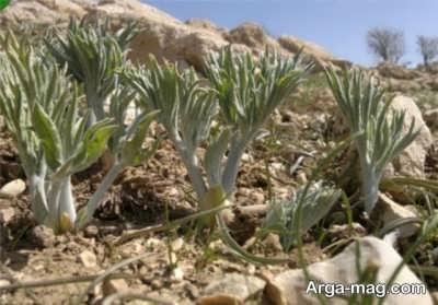 انگل کشی یکی از فواید گیاه کما می باشد