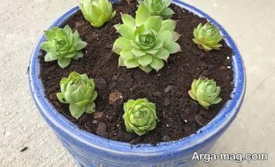 سمپریوم گیاهی محبوب