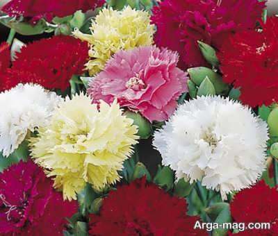 دستورالعمل پرورش گل قرنفل