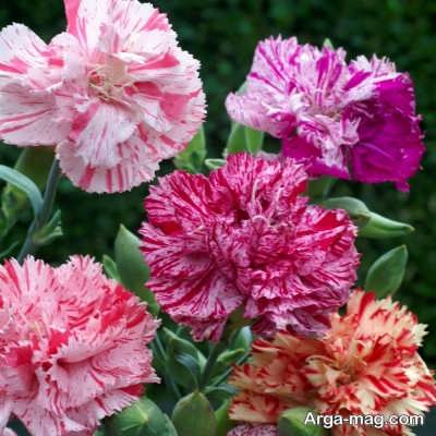 روش های پرورش گل قرنفل