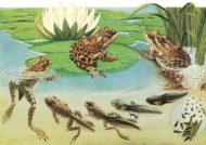 رشد قورباغه ها در آب