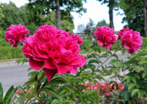 آشنایی با نحوه کاشت گل پیونی