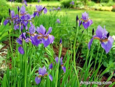 روش های تکثیر گل زنبق